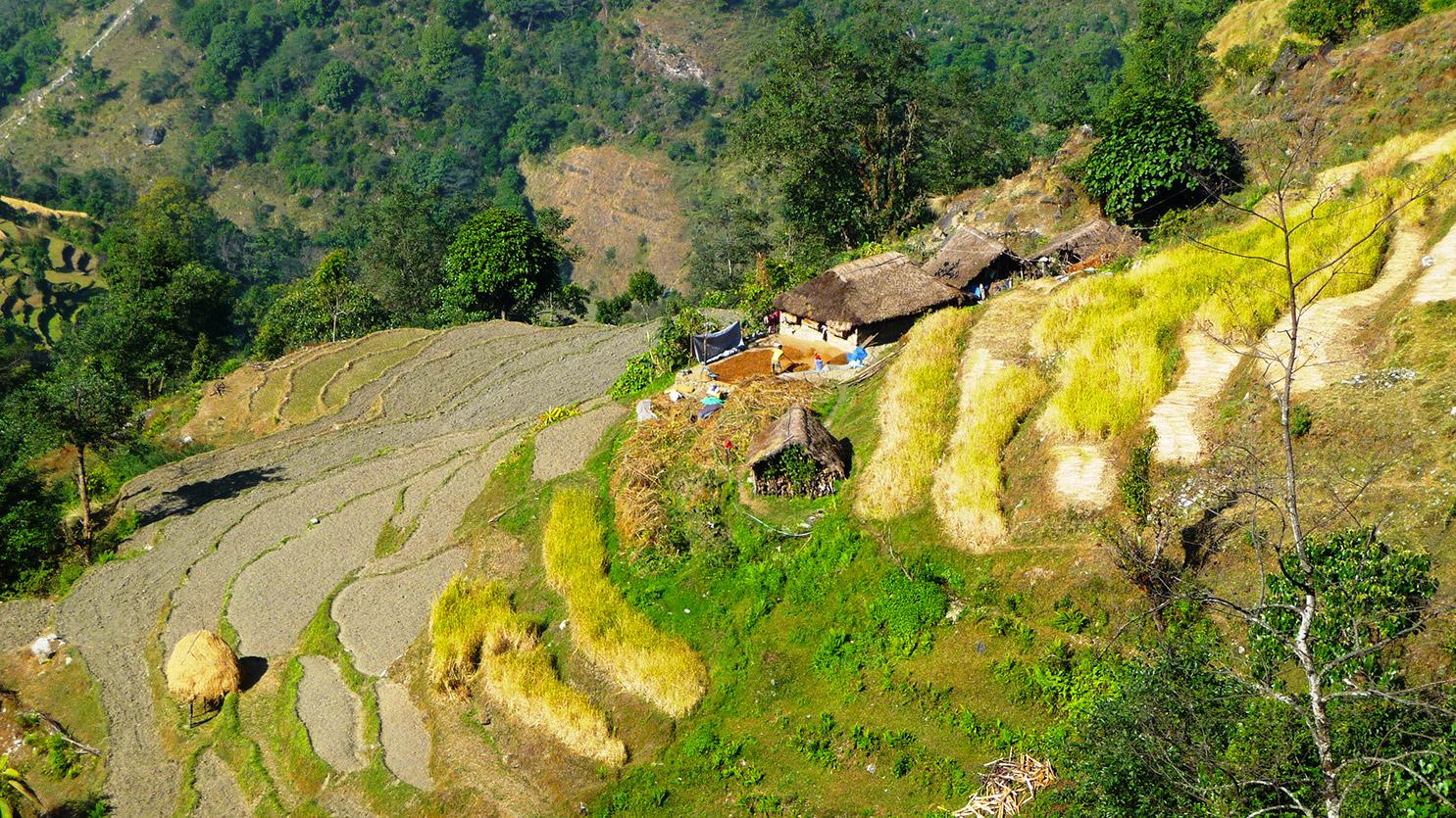 Cultures du riz en terrasses sur le chemin du camp de base de l'Annapurna. Circuit de 15 jours,...